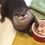 カリカリを器用に手で摘みながら美味しそうに食べる赤ちゃんカワウソ