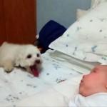 赤ちゃんと遊びたくて必死にアプローチを繰り返すワンちゃん