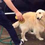 散歩に行きたくて、洗車中のパパさんたちの邪魔をするゴールデンレトリバー
