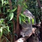 見た目はとてもキュートなのに、鳴き声にギャップがあり過ぎるコアラ