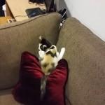 ティッシュボールを追いかけて遊んでいる子猫に訪れたおもしろいハプニング(笑)
