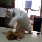 かわいい赤ちゃん猫に動揺して謎のダンスを踊り始めた白猫