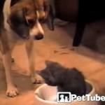 ご飯のボウルの中に居座る子猫を退かそうと一生懸命なビーグル犬