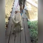 高い吊り橋に腰が引けてしまった高所恐怖症のワンちゃん