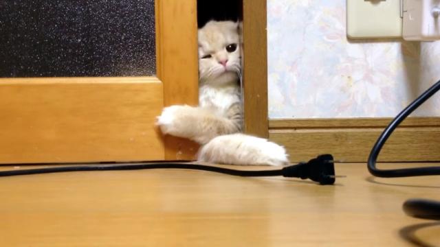 部屋に入りたくて、引き戸を開こうと悪戦苦闘するスコティッシュフォールド
