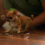 シャボン玉を一生懸命追いかける可愛いチワワのスローモーション映像