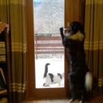 同居猫のドアマンを務める紳士的なボーダーコリー犬
