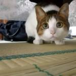 耳かきの綿ぼうしが大好きなネコ。真ん丸な目がかわい過ぎ♡