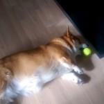 なんと横着な!?(笑)|寝転がったままボールを取ろうとするコーギー