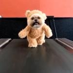 テディベアの着ぐるみを着たシーズー犬。半端ない一体感で悶絶級の可愛さ♡