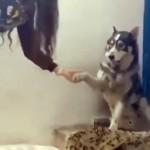 飼い主と「お手」をする犬にヤキモチを焼き、間に割り込んできた子猫