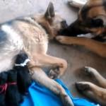 出産を終えて疲れ果てたママ犬を優しく労うパパ犬♡
