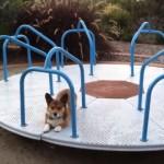 目が回りそう!?|公園の回転遊具の上を走り続けるコーギー犬