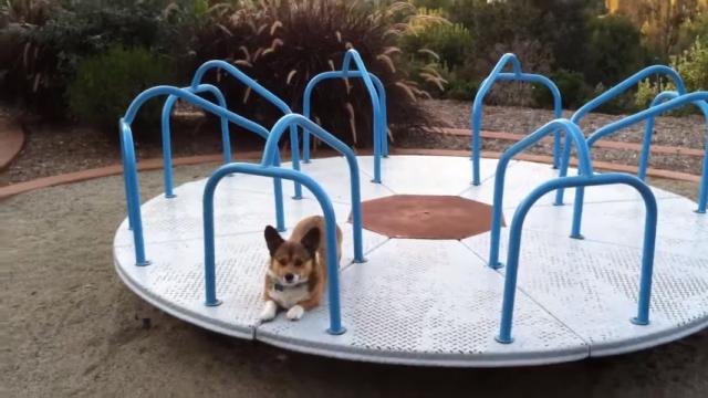 目が回りそう!? 公園の回転遊具の上を走り続けるコーギー犬
