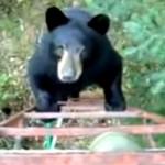 これはヤバイ!?|熊がハシゴを登って迫ってきた → 男性のとった意外な行動