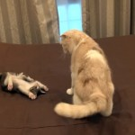 先輩猫にしつこく絡みすぎて叱られてしまった子猫。