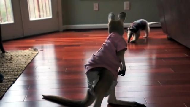カンガルーの赤ちゃんとアリクイの初顔合わせ。果たしてふたりの相性は…