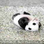 寝返りができない赤ちゃんパンダ。一生懸命がんばる姿は悶絶級の可愛さ♡