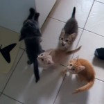 お腹空いたにゃ~!?|世話係の人に付きまといご飯を催促する4匹の子猫