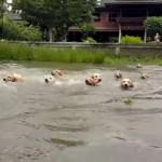 これは圧巻!?|飼い主に続いて川に飛び込む16匹のゴールデンレトリバー