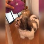 オモチャの音を真似するシーズー犬