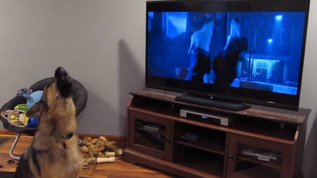 ディズニー映画「ズートピア」の狼の遠吠えにつられてしまったジャーマンシェパード
