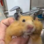 ハムスターの前歯カット法を説明する飼い主。ハムスターとのやり取りが面白すぎ(笑)