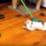 ほうきで掃除をはじめると、「掃いて、掃いて」とせがむ猫(笑)