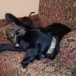 大型犬には真似できない方法でぬいぐるみを奪い取るお利口な小型犬