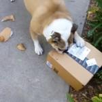 オモチャの入った小包のダンボール箱を見て大興奮するブルドッグ