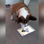 タブレットでゲーム遊びに夢中なコーギー犬。後ろではとんでもないことに(笑)