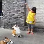ジャンプしても届かないオモチャを難なくゲットする賢いコーギー犬