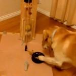 ロープとボールの関係を試行錯誤しながら学んでいく賢いラブラドール犬