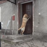 鍵が掛かっていて家の中に入れず、呼び鈴を鳴らして飼い主を呼び出す賢い犬