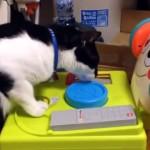 赤ちゃん用の音が鳴るオモチャに大興奮してボタンを連打しまくる猫(笑)