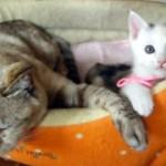 先輩猫に遊んでもらいたくてちょっかいを出す小さな子猫がかわい過ぎ!