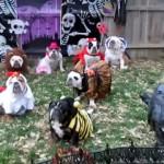 ハロウィンの仮装パーティーに集合したブルドッグたちのシュールな光景(笑)