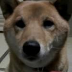 何度見ても笑ってしまう飼い主の言葉の意味を理解した賢い柴犬
