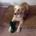 愛犬がお気に入りのオモチャに扮装したパパさんを見て大興奮するワンちゃん
