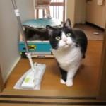 内心ドキドキ!?|クイックルワイパーが怖いのに平静を装い、見て見ぬふりをする猫(笑)