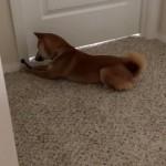 震えるドアストッパーを首を傾げながら不思議そうに見つめる柴犬
