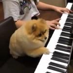 ピアノを弾く飼い主の隣で伴奏を担当するかわいいポメラニアン