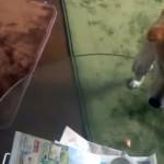 飼い主の許可なくオヤツを食べてしまった柴犬