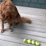 これも一芸?|大好きなテニスボールを1度に4つ咥えることができるゴールデンレトリバー