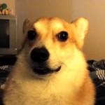 切なすぎて起きずには居られないコーギー犬のモーニングコール♡