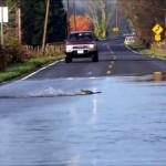 大雨で冠水した道路を横断するサケのとてもシュールな光景