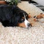 同居犬にオモチャを奪われ、何もしてくれない飼い主に不満たらたらのワンコ