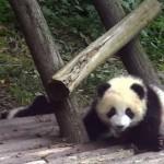 危なっかしいけど、ひょうきんでお茶目な子パンダは癒やし効果満点!