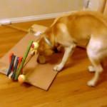 クランクシャフトとボールの関係を試行錯誤しながら学んでいく賢いラブラドール犬