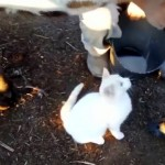 牧場で飼われている子猫。ミルクの飲み方が予想以上にダイナミック
